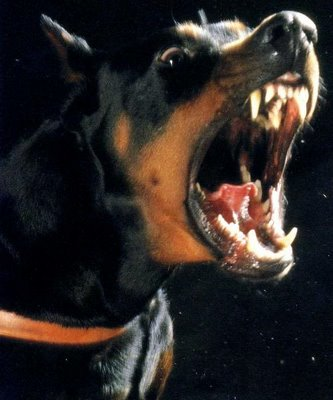 growling doberman pinscher